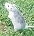 Rat husky.JPG