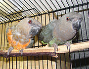 Two parrots with grey heads. One has an orange-red belly, the other is green.