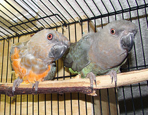 alt=Description de l'image Red-bellied Parrot pair in a cage.JPG.