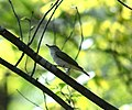 Red-eyed Vireo (5691054634).jpg