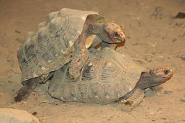 Red-footed Tortoise Love.jpg