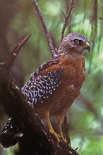 Red-shouldered hawk - Image: Red shouldered Hawk Molting
