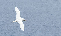Red-tailed Tropicbird in flight.jpg