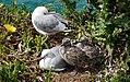 Red Billed Gull And Chick.(Chroicocephalus scopulinus) (8246966896).jpg