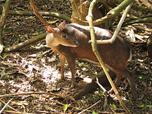 Red Brocket Deer in Barbados 10.jpg