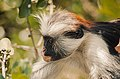 Red Colobus monkey,Zanzibar 88.jpg
