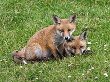 De rode vos komt veel voor in Ierland.