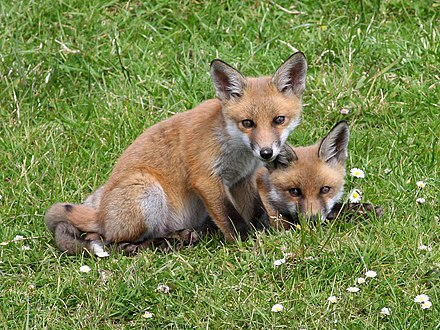 Two red foxes (Vulpes vulpes). Photo taken in Gubbeen, County Cork, Republic of Ireland. Red Fox (Vulpes vulpes) (4).jpg