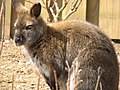Red Necked Wallaby Image 005.jpg