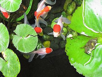 Water garden - Red Oranda (Wen) goldfish reared in a small outdoor pond with lilies.