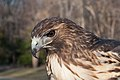 Red Tailed Hawk (6920023801) (2).jpg