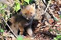 Red fox kit 3 (Vulpes vulpes).jpg