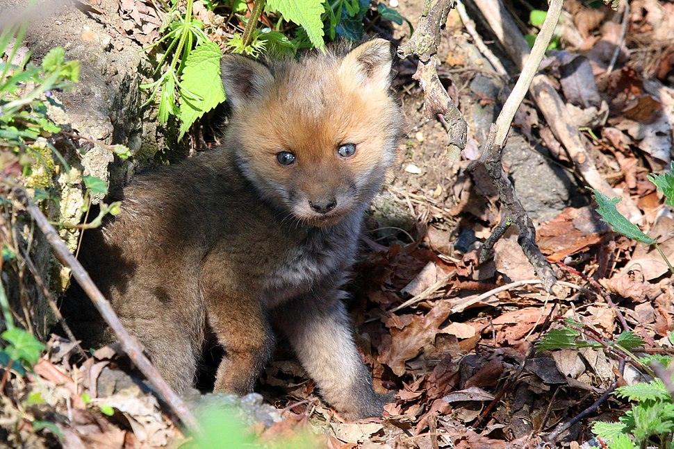Red fox kit 3 (Vulpes vulpes)