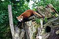 Red panda at Chester Zoo 1.jpg
