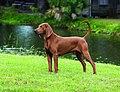 Redbone-coonhound-detail.jpg