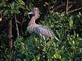Reddish Egret (28120365438).jpg