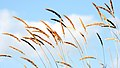 Reeds in the Wind (2126858432).jpg