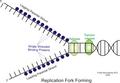 Replication complex a.png