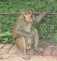 Rhesus Macaque, Taj Mahal, India.jpg
