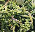 Rhipsalis baccifera, the Mistletoe Cactus (9328589901).jpg