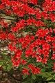 Rhododendron 'Emblem' B-7 Flowers.JPG