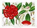 Rhododendron arboreum Govindoo.jpg