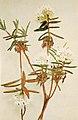Rhododendron groenlandicum WFNY-155A.jpg