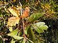 Rhus aromatica (R. trilobata) (5021228982).jpg