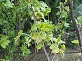 Ribes americanum 2017-04-17 7230.jpg