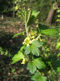 Ribes fasciculatum var chinense.jpg