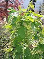 Ribes rubrum3.jpg