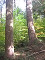Ricketts Glen State Park Old Growth.jpg