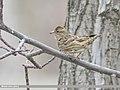 Rock Sparrow (Petronia petronia) (51339016062).jpg