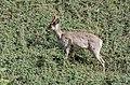 Roe deer Norway May 2019 (6).jpg