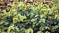 Rosa 'Aussemi' The Herbalist, at RHS Garden Hyde Hall, Essex, England 01.jpg