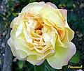 Rosa Amarela (362980080).jpg