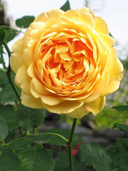 File:Rosa Golden Celebration01.jpg