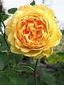 Rosa Golden Celebration01.jpg