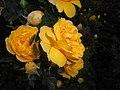 Rosa foetida Persian Yellow 2016-05-31 2304.jpg