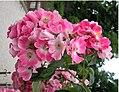 Rosa majalis inflorescence (11).jpg