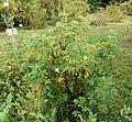 Rosa majalis plant (03).jpg