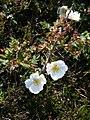 Rosa spinosissima inflorescence (12).jpg