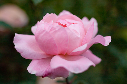 Rose, Queen Elizabeth - Flickr - nekonomania