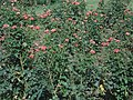 Rose garden scenes.jpg