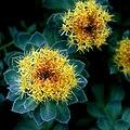 Rosenwurz (Rhodiola rosea) 5727.JPG