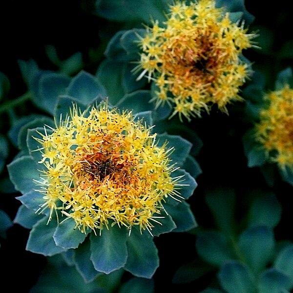 File:Rosenwurz (Rhodiola rosea) 5727.JPG