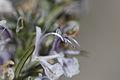 Rosmarinus officinalis - Blüte des Rosmarin (8708592682).jpg