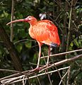 Roter Sichler Eudocimus ruber Tierpark Hellabrunn-8.jpg