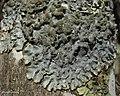 Rough Speckled Shield Lichen (4527033368).jpg