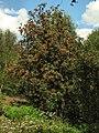 Rowan berries - geograph.org.uk - 1443576.jpg
